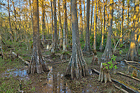 These trees are what Big Cypress National Preserve is named after. It was the dry season so the water level wasn't very high.<br />