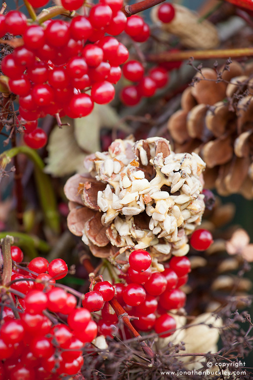Details of bird feeder wreath showing fir cones covered with peanut butter and bird seed, Viburnum opulus berries