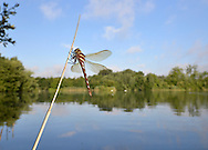 Brown Hawker Dragonfly - Aeshna grandis. Freshly emerged.
