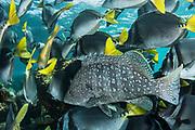 Leather bass (Dermatolepis dermatolepis) & Yellowtail Surgeonfish (Prionurus punctatus)<br /> North Seymour Island<br /> Galapagos<br /> Ecuador, South America
