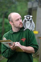© Licensed to London News Pictures. 08/01/2013 London, UK. Keeper Stephen Perry with the Ring Tailed Lemurs at the annual stocktake of every animal at Whipsnade Zoo, Beds. The compulsory count is required as part of the zoo's licence and every creature, great or small will be accounted for..Photo credit : Simon Jacobs/LNP