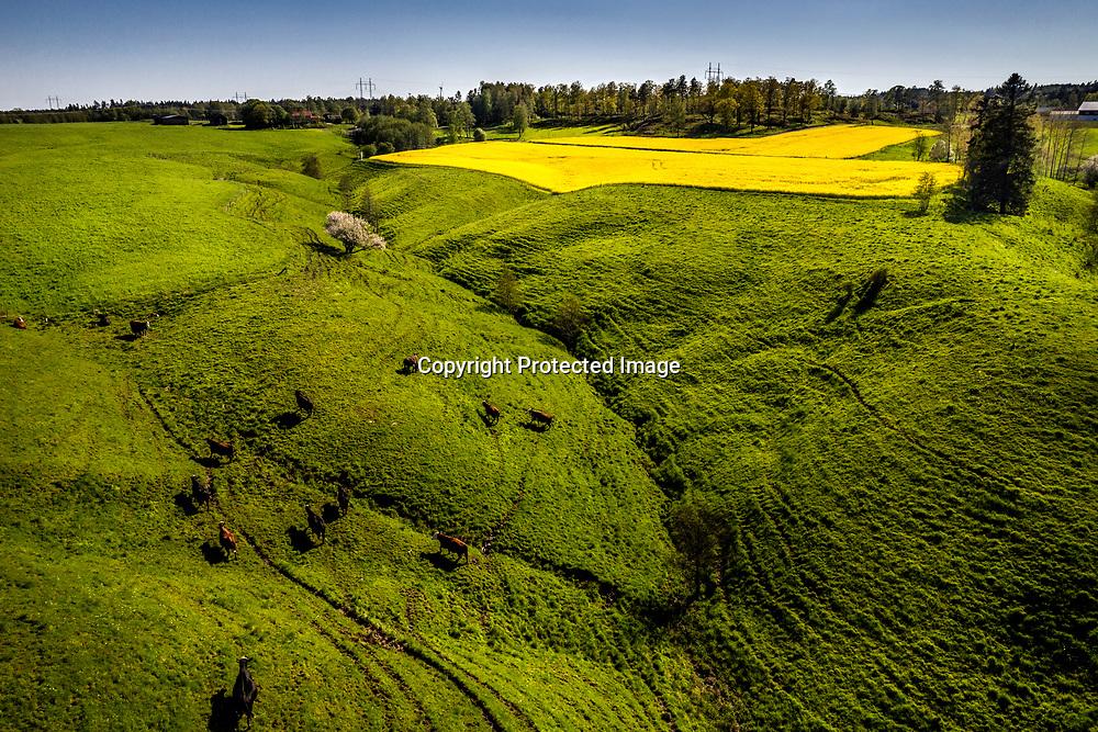 2021. 04 23 Trollhättan Sjuntorp<br /> Dramatiskt landskap och fält mellan Sjuntorp och Åsbräcka<br /> Rapsfält<br /> Drönare<br /> <br /> <br /> FOTO JOACHIM NYWALL KOD0708840825<br /> COPYRIGHT JOACHIMNYWALL:SE<br /> <br /> ****BETALBILD****<br />  <br /> Redovisas till: Joachim Nywall<br /> Strandgatan 30<br /> 461 31 Trollhättan<br />  Prislista: BLF, om ej annat avtalats