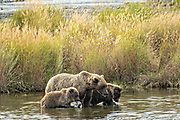 A Brown Bear sow and her spring cubs along the banks of the lower Brooks River in Katmai National Park and Preserve September 16, 2019 near King Salmon, Alaska. The park spans the worlds largest salmon run with nearly 62 million salmon migrating through the streams which feeds some of the largest bears in the world.