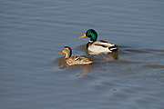 Mallard (Anas platyrhynchos) male (right) and female swimming in the water. Photographed in Israel, in January