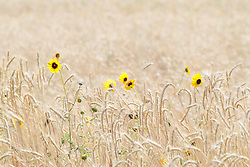 Common sunflowers in field of grasses, Highway 283 near Vernon, Texas, USA. (Tentative ID).