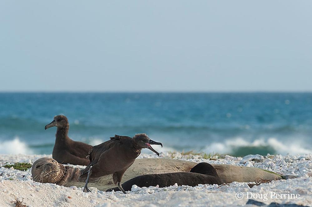 endemic Hawaiian monk seals, Monachus schauinslandi ( Critically Endangered Species ), mother nursing pup is disturbed by squawking of black-footed albatross, Phoebastria nigripes; East Island, French Frigate Shoals, Papahanaumokuakea Marine National Monument, Northwest Hawaiian Islands, USA ( Central Pacific Ocean )