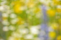 Flowering field with Verbascum speciosum and  Echium and Leucanthemum, North Velebit National Park,  Velebit Nature Park, Rewilding Europe rewilding area, Velebit  mountains, Croatia