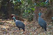 Helmeted guineafowl (Numida meleagris) from Berenty, southern Madagascar.