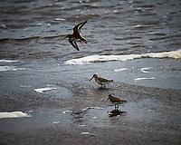Shorebirds (unknown ID). Biolab Road, Merritt Island National Wildlife Refuge. Image taken with a Nikon Df camera and 300 mm f/4  lens (ISO 900, 300 mm, f/4, 1/1250 sec).