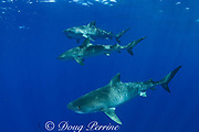 tiger sharks, Galeocerdo cuvier, North Shore, Oahu, Hawaii, USA ( Central Pacific Ocean )