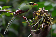 Common Green Magpie, Cissa chinensis, sitting on a tree branch feeding on fruit in Hong Bung He, Dehong, Yunnan, China