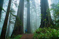 Standing in awe at the massive Redwood trees of Del Norte Redwood State Park along the California coast as the fog engulfs the forest.