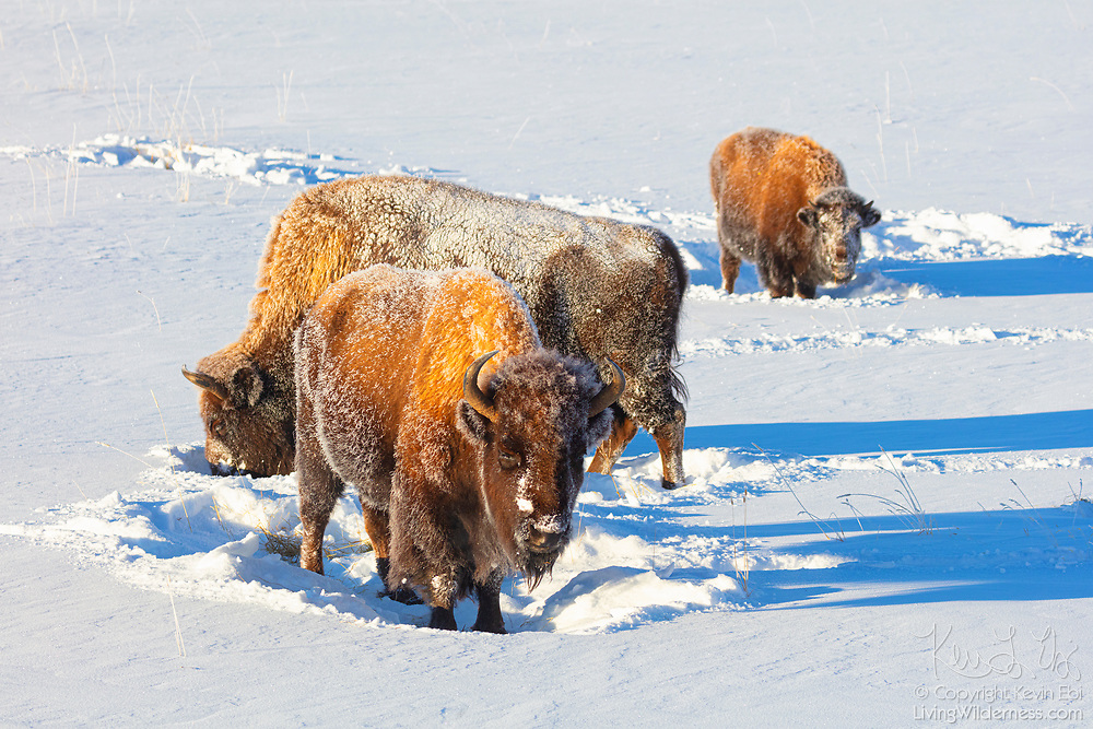 Three bison (Bison bison) graze in a snow-covered field in the Lamar Valley in Yellowstone National Park, Wyoming. They have heavy winter coats, which allow them to graze year-round. To find grass in the winter, they sweep their heads from side to side to clear snow.