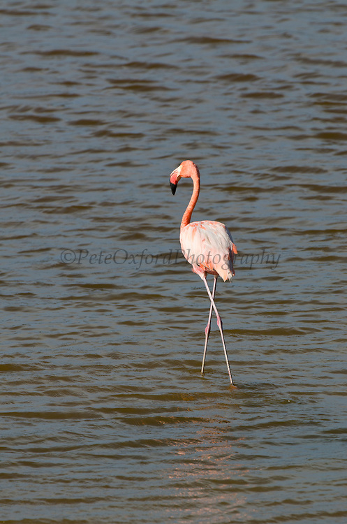 Caribbean Flamingos (Phoenicopterus ruber)<br /> Slagbaai National Park<br /> BONAIRE, Netherlands Antilles, Caribbean<br /> HABITAT & DISTRIBUTION: It is the only flamingo which naturally inhabits North America. It breeds in the Galápagos, coastal Colombia, Venezuela and nearby islands, besides the Guyanas and Cape Orange in Brazil. It also breeds in the Yucatán Peninsula of Mexico, and in the northern Caribbean in the Bahamas, Hispaniola, Cuba and the Turks and Caicos Islands.