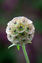 Seedhead of Scabiosa stellata 'Sternkugel'. Scabious