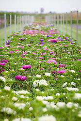 Rows of aster