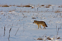 Although not exactly skittish, this coyote predictable turned and walked away as soon as I paid it any attention.  It didn't run from me, but it certainly moved in the opposite direction from me.....©2009, Sean Phillips.http://www.Sean-Phillips.com