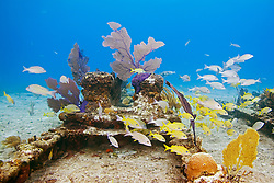 Schooling mixed Grunts, Haemulon sp., and Snappers, Lutjanus sp., over Sugar Wreck, the remains of an old sailing ship that grounded many years ago, encrusted with Sea Fans, Gorgonia sp., and Sea Rods, West End, Grand Bahamas, Caribbean, Atlantic Ocean