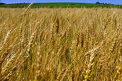 Colheitadeiras trabalhando em lavoura para a colheita do trigo. FOTO: Jefferson Bernardes / Preview.com