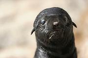 Cape fur seal (Arctocephalus pusillus pusillus) pup, Tsau-ǁKhaeb-(Sperrgebiet)-Nationalpark, Namibia | Kap-Pelzrobbe (Arctocephalus pusillus pusillus), auch Südafrikanischer Seebär genannt. Sperrgebiet National Park, Namibia