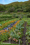 Kitchen Garden area with Calendula – pot marigolds, Brassica oleracea 'Red Drumhead' - Red Cabbage, Beta vulgaris 'Cheltenham Greentop' - Beetroot, Brassica oleracea - Broccoli 'Romanesco' and Lathyrus – Sweet peas in The Victorian Walled Garden at Kylemore Abbey. Only plants and flowers that were introduced to Ireland before 1901 are used in the gardens. The 6 acre garden is to the west of the Abbey originally known as a castle when it was built by Mitchell and Margaret Henry in the 1850's. The garden is on a south slope at the foot of Duchruach Mountain and facing Diamond Hill. It was chosen as the warmest and brightest spot on the estate with a mountain stream providing water. It is now a Benedictine community; open seven days a week all year round. The Abbey is located in Connemara in the west of Ireland. August