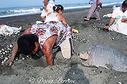 olive ridley sea turtle, Lepidochelys olivacea, lays eggs while villagers collect eggs in legal, controlled harvest during arribada or mass nesting, Playa Ostional, Costa Rica, Central America ( Eastern Pacific Ocean )