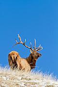 Bull elk in winter