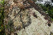 Harlequin Beetle (Acrocinus longimanus)<br /> Yasuni National Park, Amazon Rainforest<br /> ECUADOR. South America