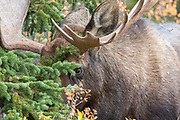 Bull moose in habitat
