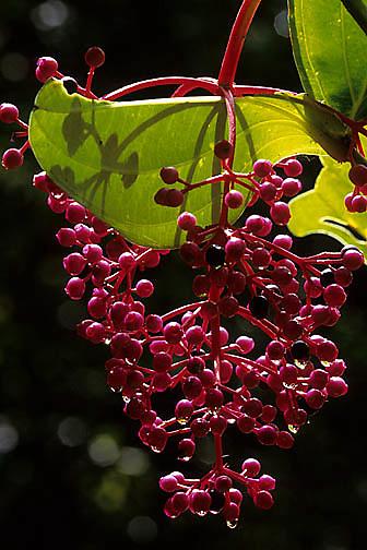 Medinella speciosa, a colorful shrub in Mountains. Kinabalu National Park. Malaysia.