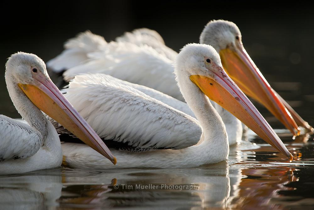 White Pelicans cruise University Lake near Louisiana State University in Baton Rouge, Louisiana.