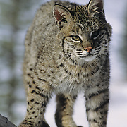 Bobcat sub adult in the foothills of the Rocky Mountains of Montana. Captive Animal
