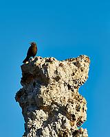 Bird on a Tufa. Mono Lake, South Tufa Area. Image taken with a Nikon D3 camera and 200 mm f/2 lens + 2.0 TCE (ISO 200, 400mm, f/11, 1/160 sec).
