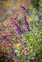 Salvia 'Amistad' with the hips of Rosa rubrifolia syn. R. glauca