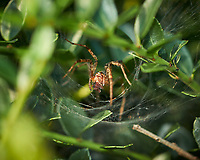 Large Spider at the funnel web. Image taken with a Fuji X-H1 camera and 80 mm f/2.8 OIS macro lens