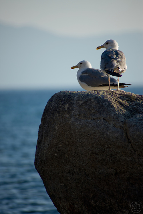"""""""Seagulls at Lake Tahoe 2"""" -These seagulls were photographed near Sand Harbor, Lake Tahoe."""