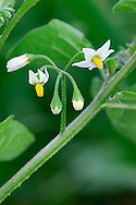BLACK NIGHTSHADE Solanum nigrum (Solanaceae) Height to 60cm. Straggly annual that is usually hairless; stems sometimes blackish. Grows in cultivated and disturbed soils. FLOWERS are 7-10mm across with white corolla lobes and projecting yellow anthers; borne in pendent clusters of 5-10 flowers (Jul-Sep). FRUITS are spherical berries, green at first but ripening black, and not partly concealed by sepals. LEAVES are oval and toothed. STATUS-Locally common in S only.