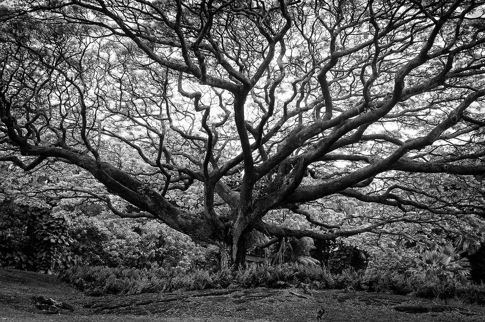 Rain tree, Japanese Liliu'okalan Gardens, near  Hilo, Hawaii.