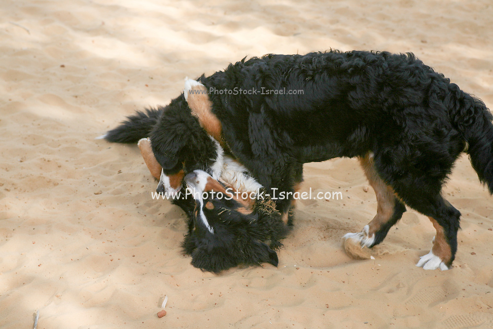 The Bernese Mountain Dog, called in German the Berner Sennenhund, is a large-sized breed of dog, one of the four breeds of Sennenhund-type dogs from the Swiss Alps.