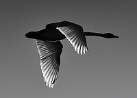 A swan at sunset makes a black and white silhouette