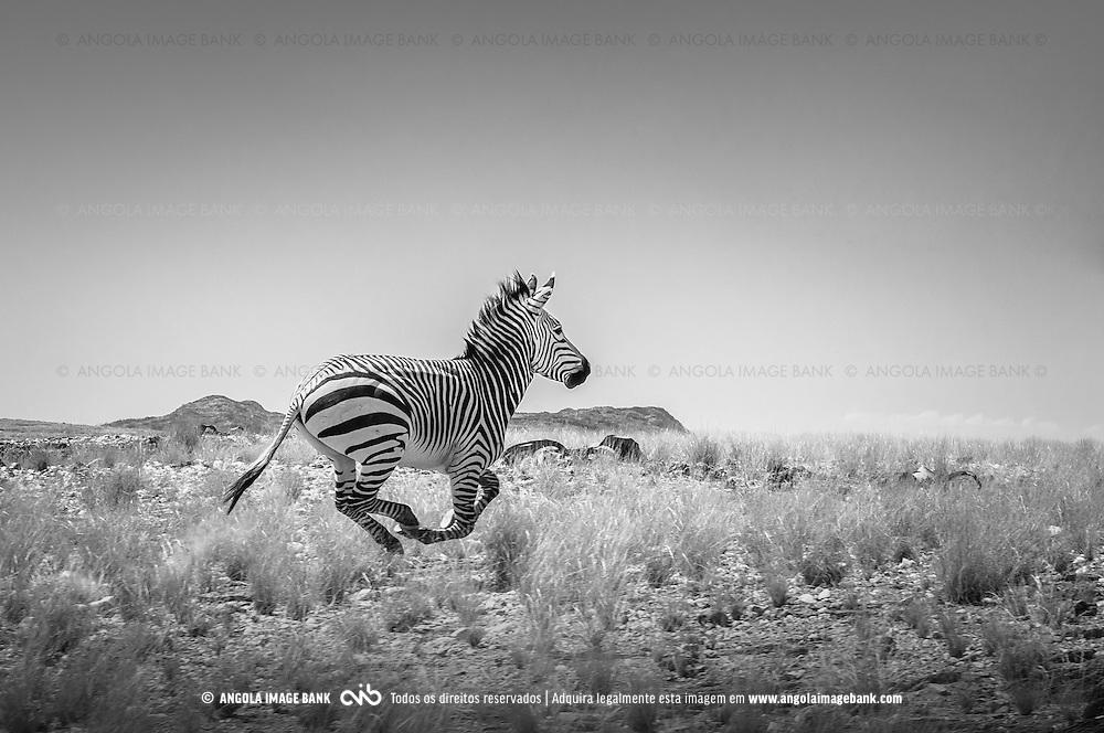 Uma zebra em galope no Párque Nacional do Iona localizado no deserto Namib, no sul de Angola, provincia do Namibe. Trata-se da Zebra-das-Montanhas-de-Hartmann (o nome científico em Latim é Equus zebra hartmannae) que é uma sub-espécie da zebra-das-montanhas encontrada apenas no extremo sul de Angola e norte da Namibia. Vivem em pequenos grupos de 7 a 12 indivíduos, são escaladores ágeis e sobrevivem em condições áridas e terrenos rochosos com pouca ou nenhuma vegetação. A espécie e a sub-espécie estão listadas como vulnerável na Lista Vermelha da IUCN.