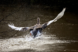 12 March 2020. River Canche near Montreuil Sur Mer, Pas de Calais, France.<br /> Geese enjoy grazing on the river bank where following months of record rainfalls, the Canche River near Montreuil Sur Mer burst its banks flooding local homes and farmland.<br /> Photo©; Charlie Varley/varleypix.com