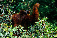 Adult male Bornean Orangutan  traveling through the rain forest canopy.  Gunung Palung National Park, Indonesia.
