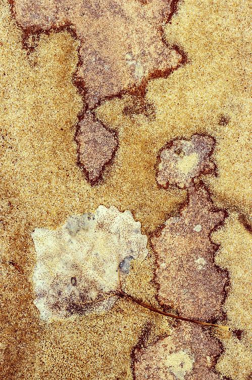 Cottonwood leaf and sandstone, Zion Nationsl Park, Utah, USA
