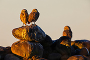 Three burrowing owls (Athene cunicularia) look in different directions as the sun rises from their perch on a rock pile in Grant County, Washington.