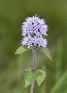 Water Mint - Mentha aquatica