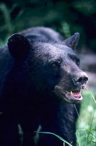 Black Bear, (Ursus americanus) Minnesota, portrait of large bear, panting from summer heat.