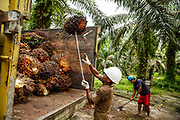 Workers load trucks with bunches of oil palm friut durning a harvest on a plantation in Ukui, Riau Province, Indonesia, on 15 June 2015. This area has become dominated by palm oil production, and some smallholder farmers have formed co-operatives to share costs, increase access to markets, and become certified by the Roundtable on Sustainable Palm Oil. He is part of Amanah, a local cooperative that has helped over 400 farmers become RSPO certified - reducing their use of pesticides and fertilizers, increasing yields, and improving farm management.