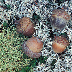 Kennebunkport, ME Reindeer lichen and acorns on the forest floor in an oak-pine forest on the Steele Farm. Fall.