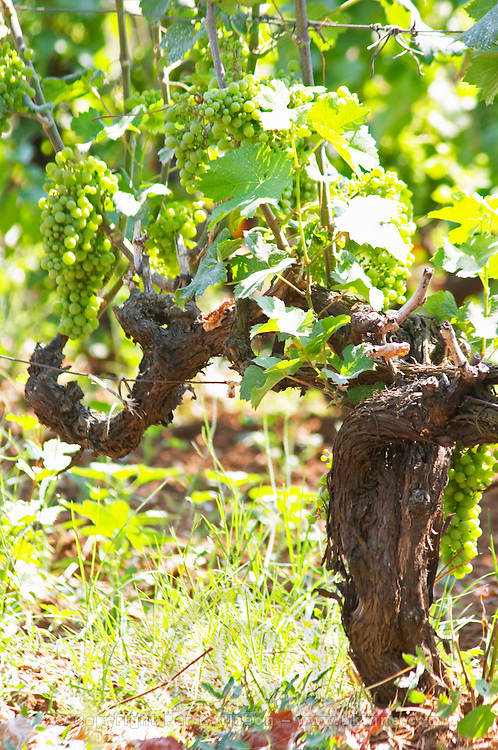 Old Vine with grape bunches. Zilavka local grape variety. Vita@I Vitaai Vitai Gangas Winery, Citluk, near Mostar. Federation Bosne i Hercegovine. Bosnia Herzegovina, Europe.